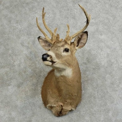 Whitetail Deer Shoulder Mount For Sale #16083 @ The Taxidermy Store