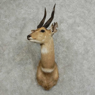 Cape Bushbuck Shoulder Mount For Sale #16085 @ The Taxidermy Store