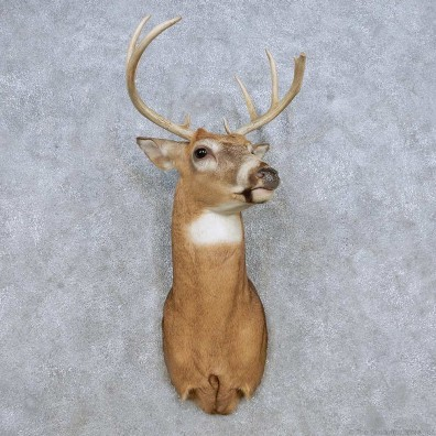 Whitetail Deer Shoulder Mount For Sale #14308 @ The Taxidermy Store