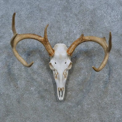 Whitetail Deer Skull Antler European Mount For Sale #15349 @ The Taxidermy Store