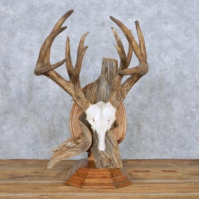 Whitetail Deer Quad Main Beam Antler Mount For Sale #14009 @ The Taxidermy Store