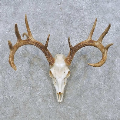 Whitetail Deer Skull European Mount For Sale #14932 @ The Taxidermy Store