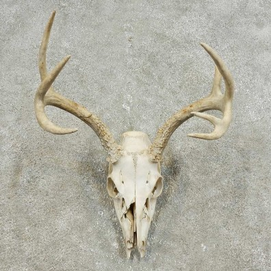 Whitetail Deer Skull European Mount For Sale #15934 @ The Taxidermy Store