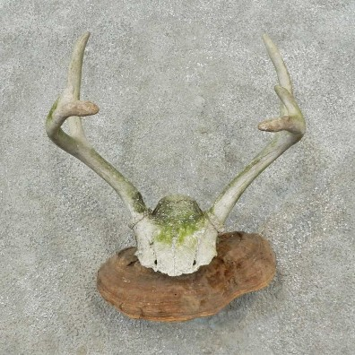 Whitetail Deer Skull & Antler Rustic Mount For Sale #16732 @ The Taxidermy Store