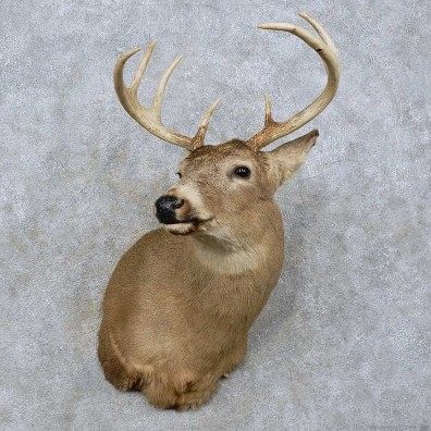 Whitetail Deer Shoulder Mount For Sale #15818 @ The Taxidermy Store
