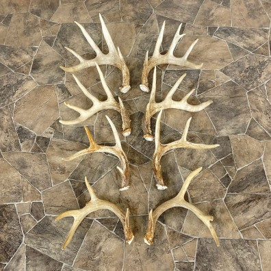 Whitetail Deer Antler Craft Pack For Sale #25105 @ The Taxidermy Store