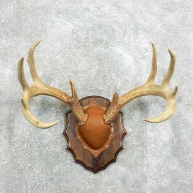 Whitetail Deer Antler Plaque Mount For Sale #18341 @ The Taxidermy Store