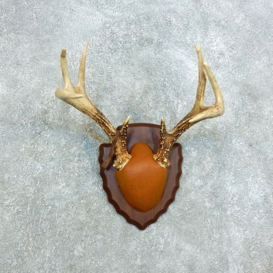 Whitetail Deer Antler Plaque Mount For Sale #18410 @ The Taxidermy Store