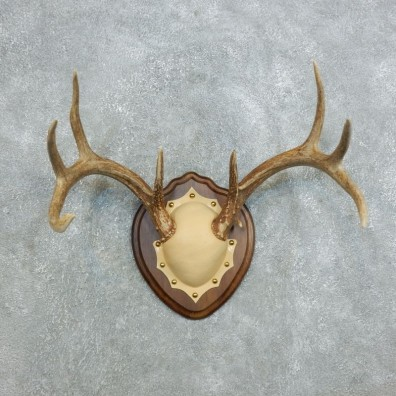 Whitetail Deer Antler Plaque Mount For Sale #18427 @ The Taxidermy Store