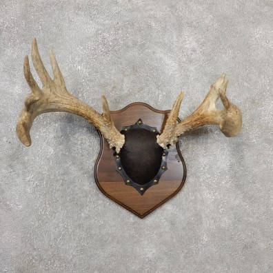 Whitetail Deer Antler Plaque Mount For Sale #19111 @ The Taxidermy Store