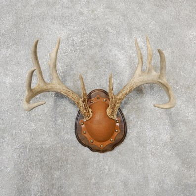 Whitetail Deer Antler Plaque Mount For Sale #19123 @ The Taxidermy Store