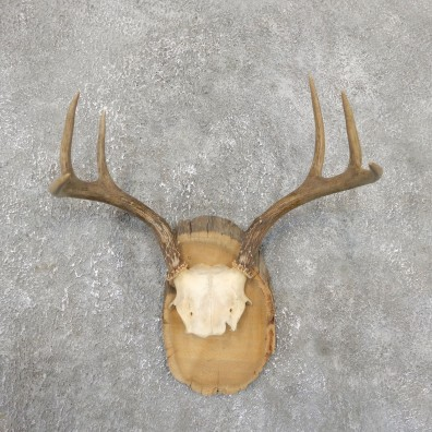 Whitetail Deer Antler Plaque Mount For Sale #19332 @ The Taxidermy StoreWhitetail Deer Antler Plaque Mount For Sale #15380 @ The Taxidermy Store