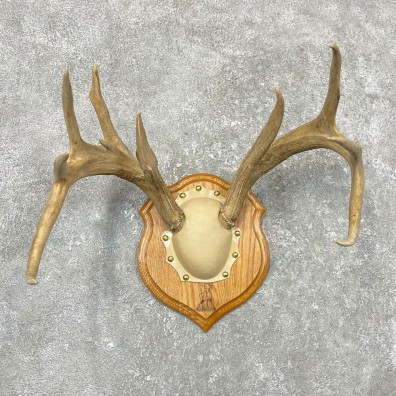 Whitetail Deer Antler Plaque Mount For Sale #24552 @ The Taxidermy Store