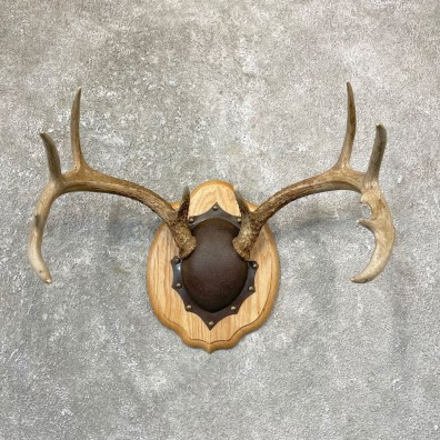 Whitetail Deer Antler Plaque Mount For Sale #24737 @ The Taxidermy Store
