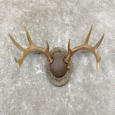Whitetail Deer Antler Plaque Mount For Sale #24813 @ The Taxidermy Store
