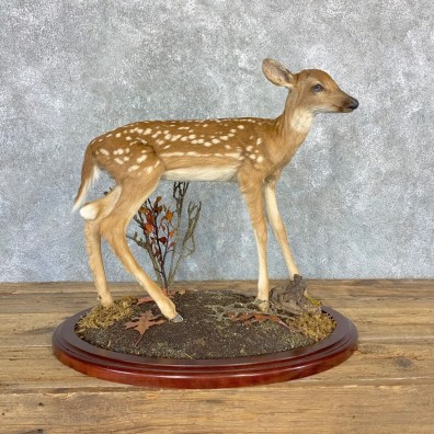 Whitetail Deer Fawn Life-Size Mount For Sale #23197 - The Taxidermy Store