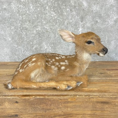 Whitetail Deer Fawn Life-Size Mount For Sale #24696 - The Taxidermy Store