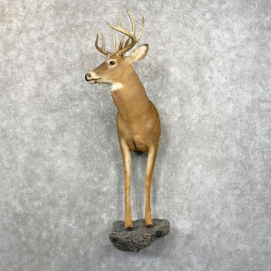 Whitetail Deer Half Life-Size Mount #24791 For Sale - The Taxidermy Store