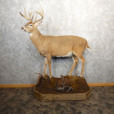 Whitetail Deer Life-Size Mount For Sale #20689 @ The Taxidermy Store