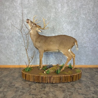 Whitetail Deer Life-Size Mount For Sale #21387 @ The Taxidermy Store