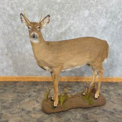 Whitetail Deer Life-Size Mount For Sale #24626 @ The Taxidermy Store
