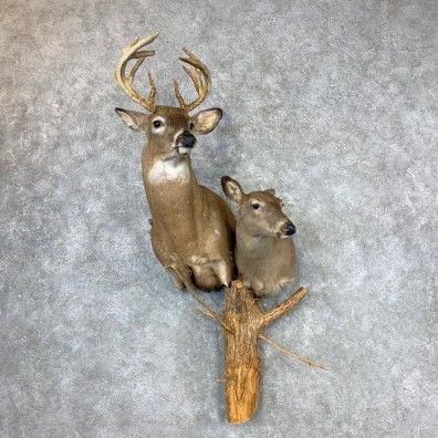 Whitetail Deer Pair Wall Pedestal Taxidermy Mount #23343 For Sale - The Taxidermy Store