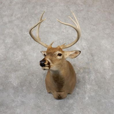 Whitetail Deer Shoulder Mount #18841 For Sale - The Taxidermy Store