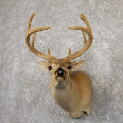 Whitetail Deer Shoulder Mount #18848 For Sale - The Taxidermy Store