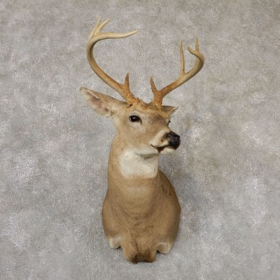 Whitetail Deer Shoulder Mount #18855 For Sale - The Taxidermy Store