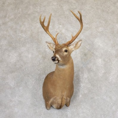 Whitetail Deer Shoulder Mount #18993 For Sale - The Taxidermy Store