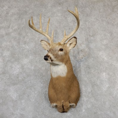 Whitetail Deer Shoulder Mount #19302 For Sale - The Taxidermy Store