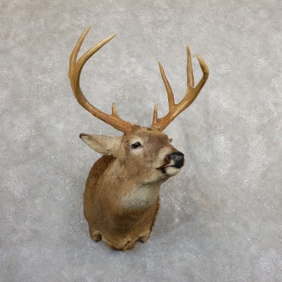Whitetail Deer Shoulder Mount #19655 For Sale - The Taxidermy Store