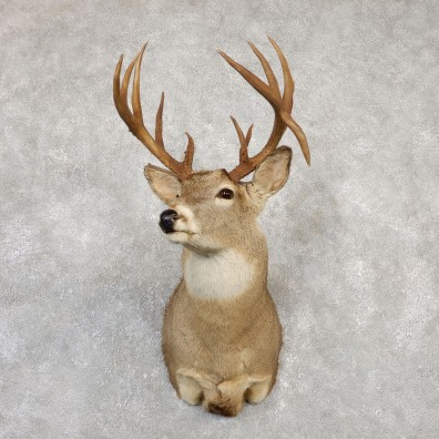 Whitetail Deer Shoulder Mount #20005 For Sale - The Taxidermy Store