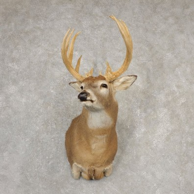 Whitetail Deer Shoulder Mount #20525 For Sale - The Taxidermy Store