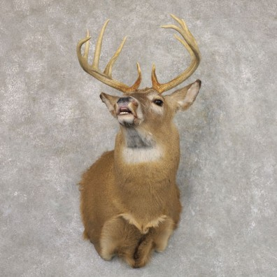 Whitetail Deer Shoulder Mount #22167 For Sale - The Taxidermy Store