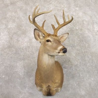 Whitetail Deer Shoulder Mount #22168 For Sale - The Taxidermy Store
