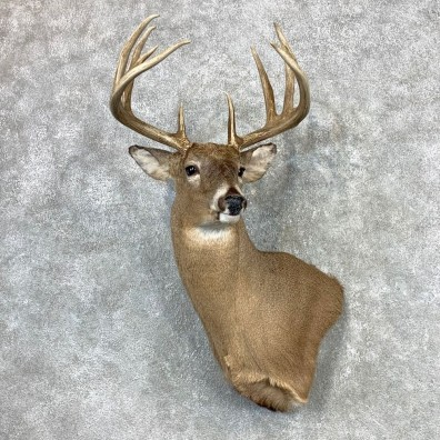 Whitetail Deer Shoulder Mount #23342 For Sale - The Taxidermy Store