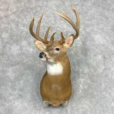 Whitetail Deer Shoulder Mount #23350 For Sale - The Taxidermy Store