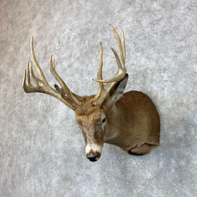 Whitetail Deer Shoulder Mount #23488 For Sale - The Taxidermy Store