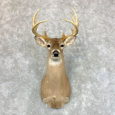 Whitetail Deer Shoulder Mount #23605 For Sale - The Taxidermy Store