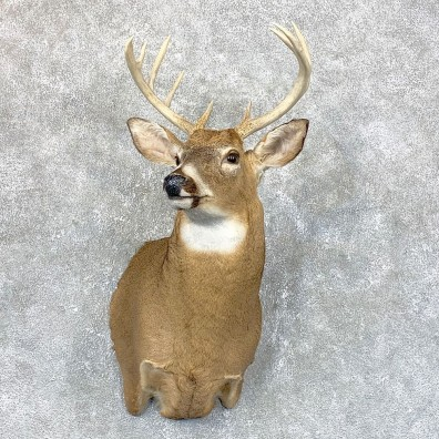 Whitetail Deer Shoulder Mount #23813 For Sale - The Taxidermy Store