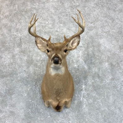 Whitetail Deer Shoulder Mount #23822 For Sale - The Taxidermy Store