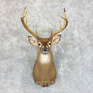 Whitetail Deer Shoulder Mount #23828 For Sale - The Taxidermy Store