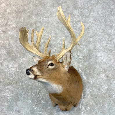 Whitetail Deer Shoulder Mount #23983 For Sale - The Taxidermy Store