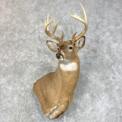 Whitetail Deer Shoulder Mount #23984 For Sale - The Taxidermy Store