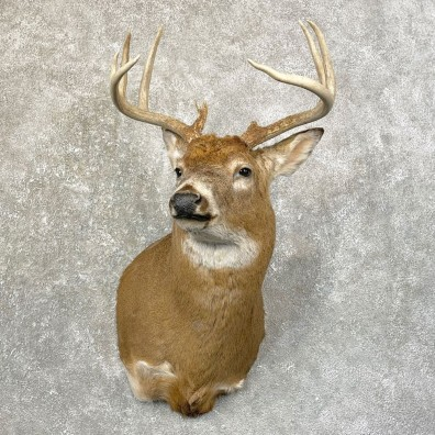 Whitetail Deer Shoulder Mount #24604 For Sale - The Taxidermy Store