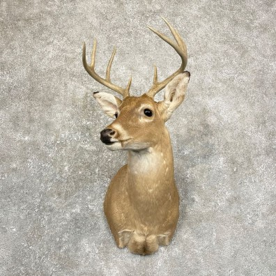 Whitetail Deer Shoulder Mount #24662 For Sale - The Taxidermy Store