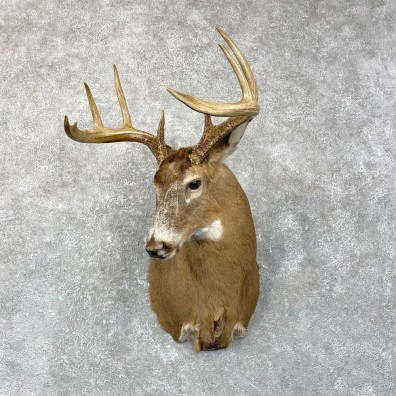 Whitetail Deer Shoulder Mount #24665 For Sale - The Taxidermy Store