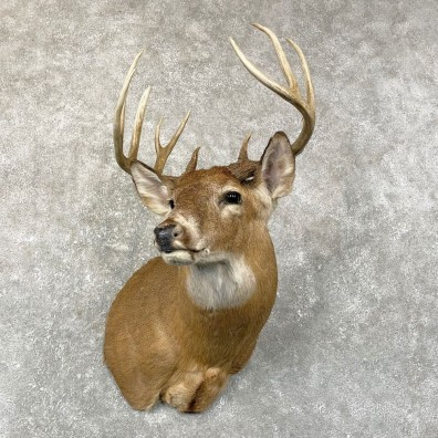 Whitetail Deer Shoulder Mount #24669 For Sale - The Taxidermy Store