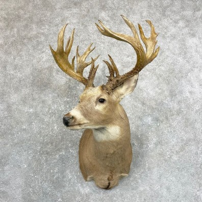 Whitetail Deer Shoulder Mount #24671 For Sale - The Taxidermy Store